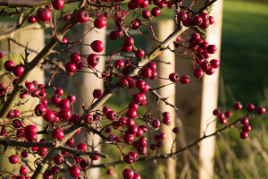berries-in-hedgerow