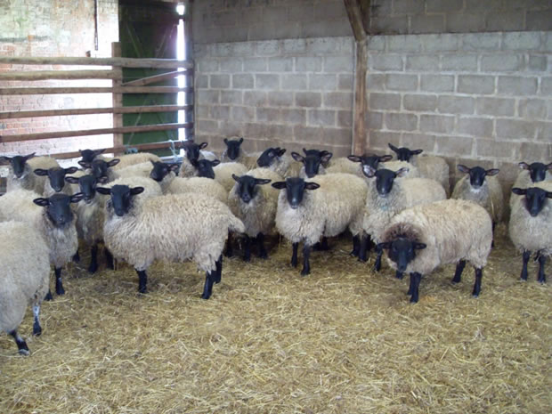 lambs-in-shed